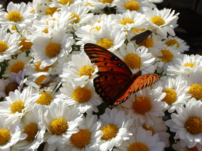 butterfly in bloom October 2007