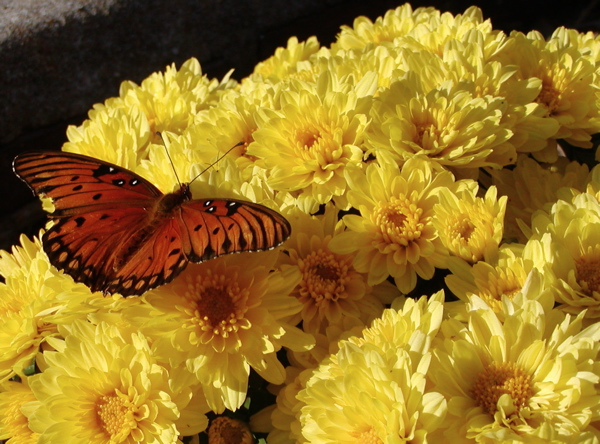 butterfly and yellow mums
