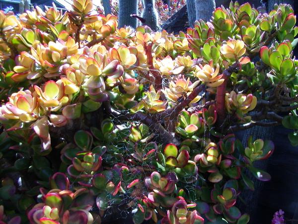 jade plant spider web