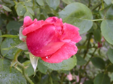 pink rose dewey