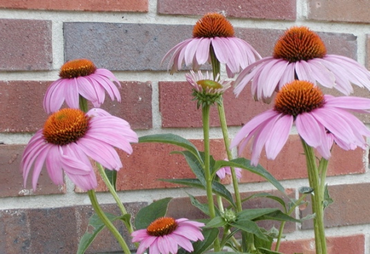 purple coneflower multi