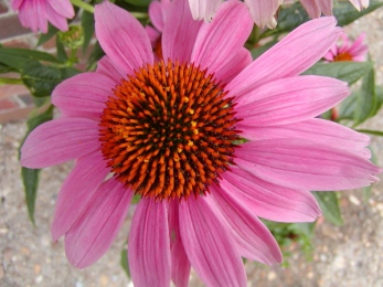 purple coneflower single