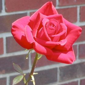 red rose single