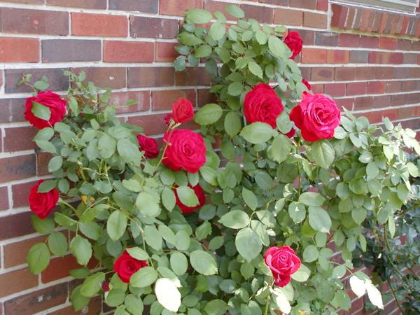 red rose multi
