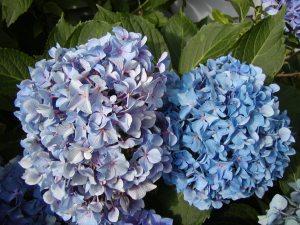 hydrangea in June 2007
